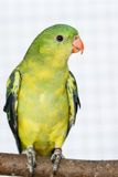 The Regent Parrot (Polytelis anthopeplus) Stock Photo