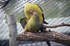 Regent parrots. The regent parrots are kissing each other while mating stock photos