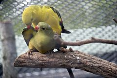 Regent parrots. The regent parrots are mating he is biting her wing Royalty Free Stock Image