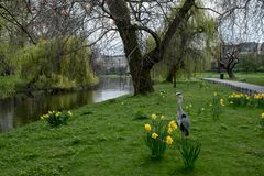 Regent`s Park in London UK, showing grassy bank, willow tree, a heron, boating lake and daffodils in spring. Stock Photography