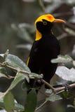 Regenta Bowerbird w naturalnym siedlisku Obrazy Stock