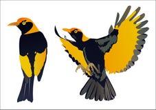 Regenter Bowerbird Lizenzfreies Stockfoto