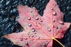 Regentropfen auf Ahornblatt Stockfotos