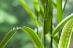 Regentropfen auf Bambusblättern Stockfotografie