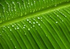 Regentropfen auf Bananenblatthintergrund Stockfotos