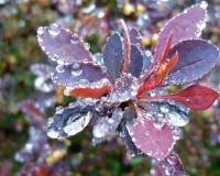Regentropfen auf Berberitzenbeere lizenzfreies stockbild