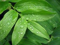 Regentropfen auf Blättern Stockfoto