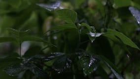 Regentropfen auf Blättern von Bäumen stock video footage
