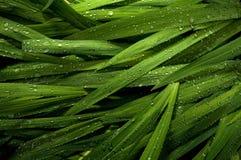 Regentropfen auf dekorativem Gras Lizenzfreies Stockfoto