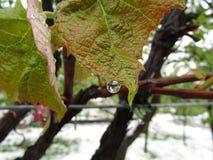 Regentropfen auf dem Wein Lizenzfreie Stockfotos