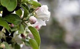Regentropfen auf den Blumen von Apple Stockfoto