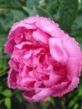Regentropfen auf den Rosen sind wunderbar lizenzfreie stockbilder