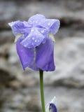 Regentropfen auf der Iris nach Regen Lizenzfreie Stockbilder