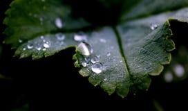 Regentropfen auf dunkelgrünem Blatt auf schwarzem Hintergrund stockfotos