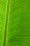 Regentropfen auf einem Bananenblatt Stockfoto