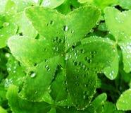 Regentropfen auf einem Klee lizenzfreie stockfotografie