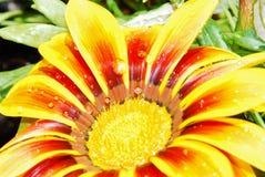 Regentropfen auf einer Blume von Gazania Lizenzfreie Stockfotos