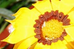 Regentropfen auf einer Blume von Gazania Lizenzfreies Stockbild