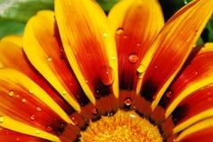 Regentropfen auf einer Blume von Gazania Lizenzfreies Stockfoto