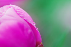 Regentropfen auf einer Blumenpfingstrose Lizenzfreies Stockbild