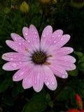 Regentropfen auf einer rosa Blume Lizenzfreies Stockfoto
