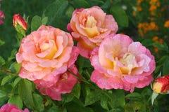 Regentropfen auf einer Rose Lizenzfreies Stockfoto