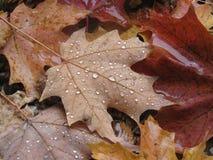 Regentropfen auf Fallblättern in Kanada stockfotos