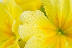 Regentropfen auf gelber Blume Stockfotografie
