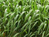 Regentropfen auf Getreideblättern Lizenzfreie Stockfotos