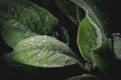 Regentropfen auf Grünblättern des Gartens Stockbild
