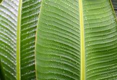 Regentropfen auf grünem Bananenblatthintergrund Stockbilder