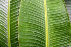 Regentropfen auf grünem Bananenblatthintergrund Stockfoto