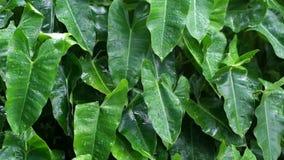 Regentropfen auf grünen Blättern stock footage
