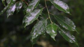 Regentropfen auf grünen Blättern stock video