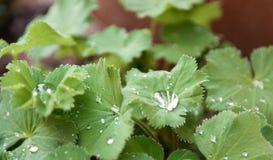 Regentropfen auf grünen Blättern Stockbild