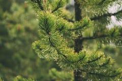 Regentropfen auf grünen Kiefernnadeln mit neuem grünem copyspace stockfoto