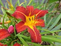 Regentropfen auf Hemerocallis Lizenzfreie Stockfotografie