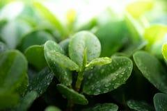 Regentropfen auf jungem grünem Blatt lizenzfreies stockfoto