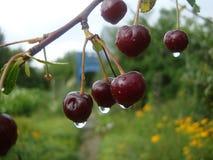 Regentropfen auf Kirschbeeren lizenzfreie stockfotos