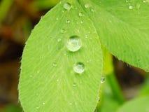 Regentropfen auf Kleeblatt Stockfotos
