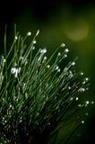 Regentropfen auf kleinem Kieferbusch Stockfotografie