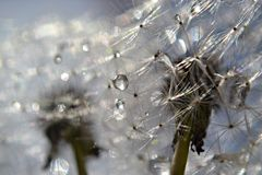 Regentropfen auf Löwenzahnsamen Lizenzfreies Stockfoto