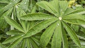 Regentropfen auf Lupine Stockbild