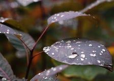 Regentropfen auf purpurrotem Blatt lizenzfreies stockbild