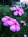 Regentropfen auf rosa Blume Stockbilder