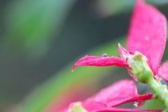 Regentropfen auf rosa Blumenblatt Stockfotos