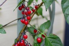 Regentropfen auf roten Beeren Lizenzfreies Stockbild