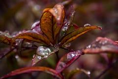 Regentropfen auf roten Blättern Stockfotografie