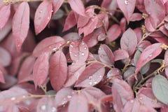 Regentropfen auf roten Blättern Lizenzfreie Stockfotos