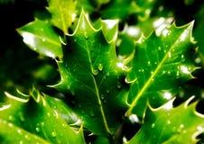 Regentropfen auf Stechpalmeblättern Stockfotos